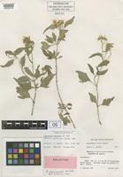 Holotype of Lipochaeta mauiensis H. St.John [family ASTERACEAE]