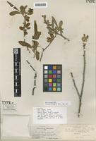 Holotype of Salix congesta Howell [family SALICACEAE]