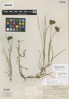 Holotype of Juncus inventus Hend. [family JUNCACEAE]
