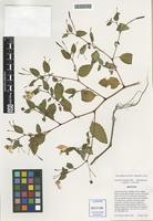Isotype of Impatiens xpacifica Zika [family BALSAMINACEAE]