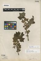 Holotype of Ribes ciliosum Howell [family GROSSULARIACEAE]