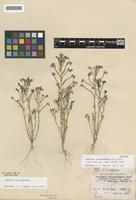 Holotype of Downingia willamettensis M. Peck [family CAMPANULACEAE]