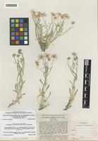 Isotype of Erigeron pumilus Nutt. ssp. concinnoides [family ASTERACEAE]