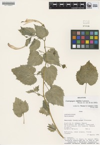 Holotype of Centropogon vitifolius Lammers [family CAMPANULACEAE]