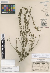 Isotype of Alsodeia parvifolia S.Watson [family VIOLACEAE]