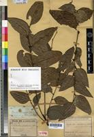 Holotype of Phyllanthus baladensis Baill. [family EUPHORBIACEAE]