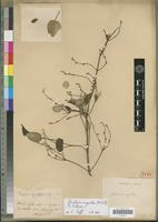 Holotype of Siphomeris argentea A.Rich. [family RUBIACEAE]
