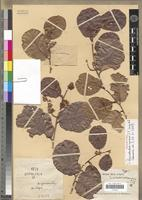 Holotype of Perrierodendron capuronii J.-F. Leroy & al. [family SARCOLAENACEAE]