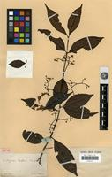Isotype of Myrcia laxiflora Cambess [family MYRTACEAE]