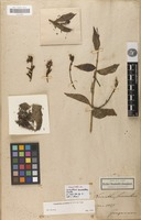 Holotype of Loranthus suaveolens Kunth [family LORANTHACEAE]