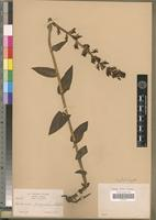 Isolectotype of Habenaria papyracea Schltr. [family ORCHIDACEAE]