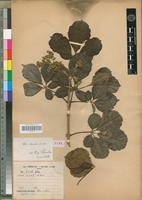 Type of Vitex crenata A.Chev. [family VERBENACEAE]