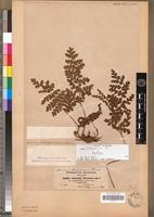 Isotype of Anemia schimperiana C.Presl [family PTERIDOPHYTA]