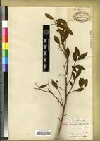 Isotype of Brunfelsia cestroides A.Rich. [family SOLANACEAE]