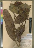 Holotype of Gilbertiodendron robynsianum Aubrév.&Pellegr. [family FABACEAE-CAESALPINIOIDEAE]