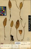 Isotype of Stelis floribunda Kunth [family ORCHIDACEAE]