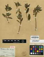 Isotype of Turnera ulmifolia L. var. elliptica Urb. [family TURNERACEAE]