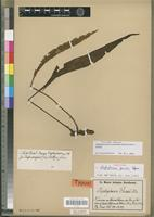 Isotype of Elaphoglossum preussii Hieron. [family PTERIDOPHYTA]