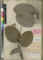 Holotype of Cryptocarya odorata Guillaumin [family LAURACEAE]
