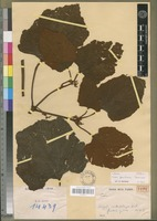 Holotype of Cissus gambiana Descoings [family VITACEAE]