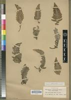 Isotype of Cheilanthes ornatissima Maxon [family PTERIDOPHYTA]