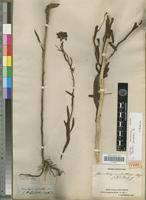 Holotype of Baccharis medullosa DC. [family ASTERACEAE]