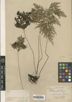 Isolectotype of Lindsaea exilis E.Fourn. [family PTERIDOPHYTA]