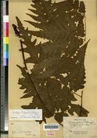Lectotype of Dictyopteris lifuensis Fournier [family PTERIDOPHYTA]