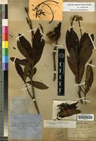 Type of Augusta austro-caledonica (Brongn.) J.H.Kirkbr. [family RUBIACEAE]
