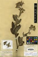 Syntype of Eriodictyon crassifolium Benth. var. nigrescens Brand [family HYDROPHYLLACEAE]