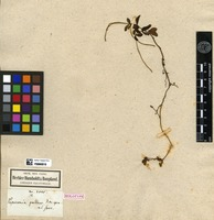 Holotype of Peperomia pallens Kunth [family PIPERACEAE]