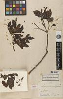 Holotype of Weinmannia caripensis Kunth [family CUNONIACEAE]