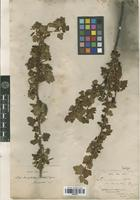Isotype of Ribes brachybotrys (Wedd.) Jancz. [family GROSSULARIACEAE]