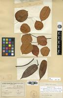 Isolectotype of Lophostoma dinizii Huber ex Ducke [family THYMELAEACEAE]