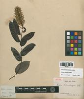 Isotype of Mabea schomburgkii Benth. [family EUPHORBIACEAE]