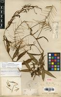 Holotype of Polypsecadium solidagineum (Triana & Planch.) Al-Shehbaz [family BRASSICACEAE]