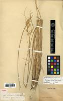 Type of Calamagrostis patula Steud. [family POACEAE]