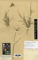 Type of Chloris tacnensis Steud. ex Lechler [family POACEAE]