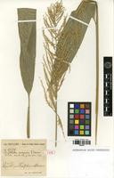 Type of Chevalierella cangoensis A.Camus [family POACEAE]
