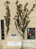 Syntype of Baccharis pingraea DC. [family ASTERACEAE]
