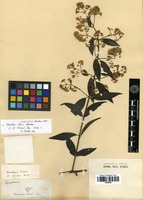 Isotype of Baccharis laxa Gardner [family ASTERACEAE]