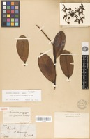 Isotype of Souroubea guianensis Aubl. var. cylindrica Wittm. [family MARCGRAVIACEAE]