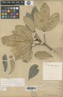 Type of Melicope magnifolia (Baill.) T.G.Hartley [family RUTACEAE]