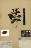 Isotype of Psychotria leonis Britton & Wilson [family RUBIACEAE]