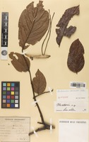 Isotype of Archidendron eberhardtii I.C.Nielsen [family FABACEAE]