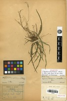 Holotype of Angraecum sinuatiflorum H.Perrier [family ORCHIDACEAE]
