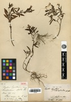 Isotype of Cuphea ligustrina Cham. & Schltdl. var. chamaedendrum A.St.-Hil. [family LYTHRACEAE]