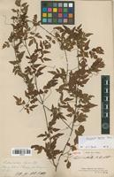 Type of Paullinia australis A.St.-Hil. [family SAPINDACEAE]