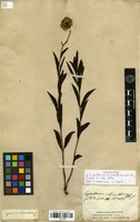 Holotype of Eupatorium rhinanthaceum DC. [family ASTERACEAE]