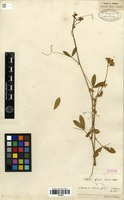 Syntype of Lathyrus lycius Boiss. & Heldr. [family FABACEAE]